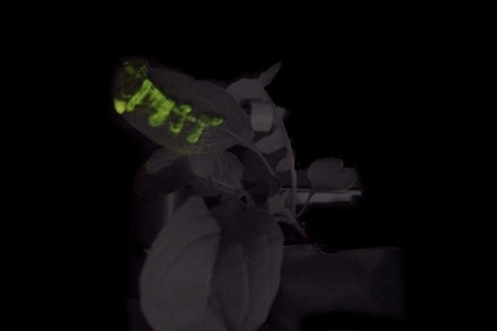 Four hours light - natural bioluminescent plants from MIT